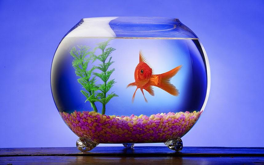 goldfish_2534214k[1]